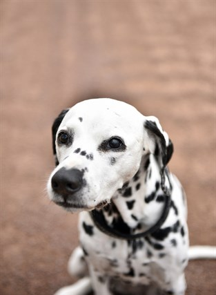 Dalmatinern Wilma är 13 år gammal. Hennes Facebookblogg har nästan tvåtusen följare.